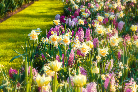 outdoor scenery: Marvellous flowers in the Keukenhof park. Beautiful outdoor scenery in Netherlands, Europe.