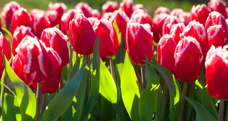 outdoor scenery: Marvellous red tulips in the Keukenhof park. Beautiful outdoor scenery in Netherlands, Europe. Stock Photo