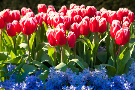 marvellous: Marvellous red tulips and blue hyacinth in the Keukenhof park. Beautiful outdoor scenery in Netherlands, Europe.