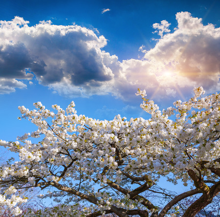 outdoor scenery: Blooming sakura flowers on blue sky background in the Keukenhof park, used as background. Beautiful outdoor scenery in Netherlands, Europe. Stock Photo