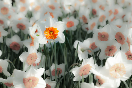 outdoor scenery: White narcissus in the Keukenhof park, used as background. Beautiful outdoor scenery in Netherlands, Europe. Stock Photo