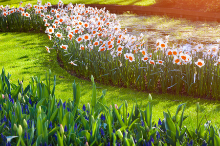 marvellous: Marvellous flowers in the Keukenhof park in glowing morning light. Beautiful outdoor scenery in Netherlands, Europe.
