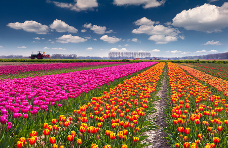 outdoor scenery: Tulip farm near the Rutten town. Beautiful outdoor scenery in Netherlands, Europe. Stock Photo