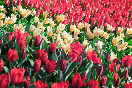 outdoor scenery: Marvellous red and white tulips in the Keukenhof park, used as background. Beautiful outdoor scenery in Netherlands, Europe. Stock Photo