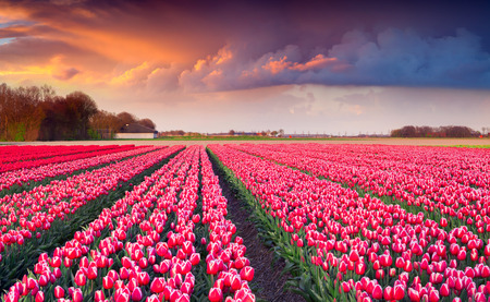 outdoor scenery: Colorful spring sunrise on the tulip farm near the Creil town. Beautiful outdoor scenery in Netherlands, Europe.