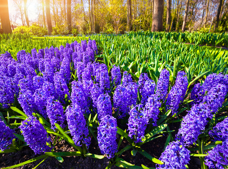 outdoor scenery: Marvellous blue hyacinth flowers in the Keukenhof park. Beautiful outdoor scenery in Netherlands, Europe.