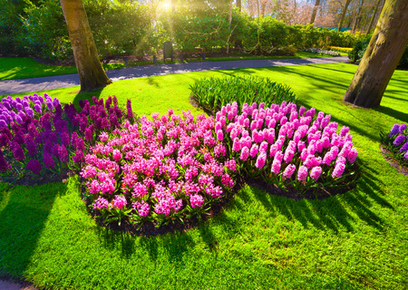outdoor scenery: Marvellous pink hyacinth flowers in the Keukenhof park. Beautiful outdoor scenery in Netherlands, Europe. wide angle.