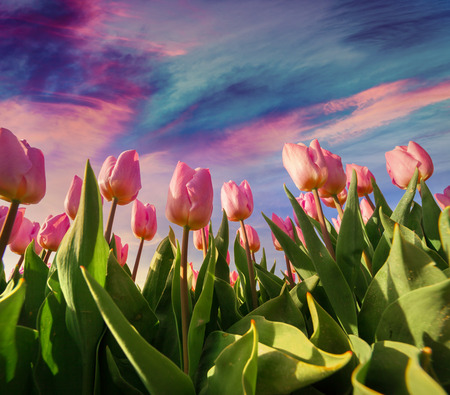 field of flowers: Springtime pink tulips blossom on the Netherlands farm. Beautiful flowers on the colorful sunrise sky background.