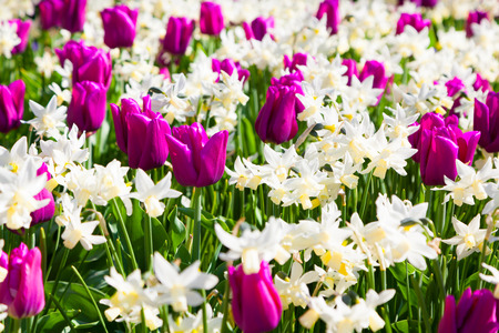 marvellous: Marvellous flowers in the Keukenhof park, used as background. Beautiful outdoor scenery in Netherlands, Europe.