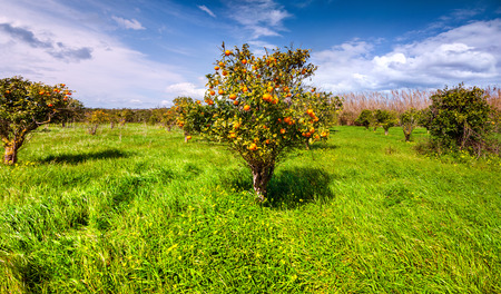 naranja arbol: Soleado por la ma�ana en el jard�n anaranjado en Sicilia, Italia, Europa. Foto de archivo
