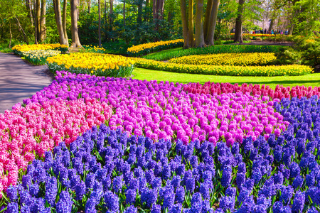 yellov: Marvellous hyacinth flowers in the Keukenhof park, used as background. Beautiful outdoor scenery in Netherlands, Europe. Stock Photo