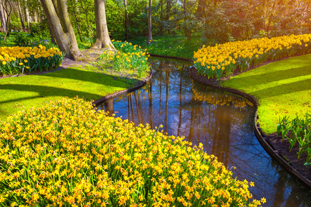 outdoor scenery: Marvellous yellow narcissus in the Keukenhof park. Beautiful outdoor scenery in Netherlands, Europe.