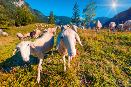 Sheep on alpine pasture in sunny summer day. Triglav National Park, Juliann Alps, Slovenia, Europe. Instagram toning. photo