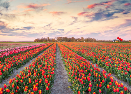 outdoor scenery: Colorful spring sunrise on the tulip farm near the Espel village. Beautiful outdoor scenery in Netherlands, Europe.