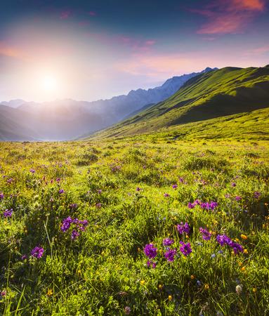 svaneti: Blooming pink flowers in the Caucasian mountains in summer sunrise. Upper Svaneti, Georgia, Europe.