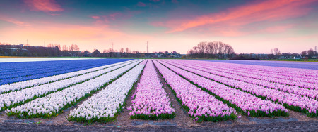 outdoor scenery: Fields of blooming hyacinth flowers at sunrise. Beautiful outdoor scenery in Netherlands, Europe.
