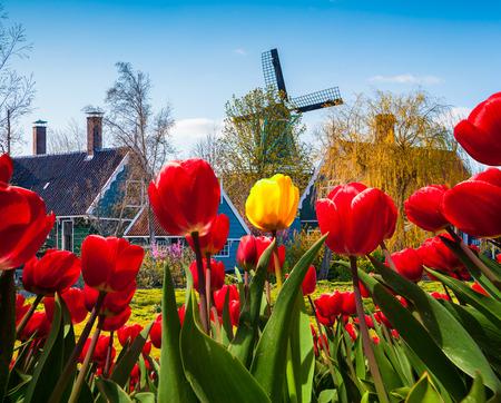 tulip: Słynny holenderskie wiatraki i autentyczne budynki Holandii. Wiev przez czerwonych tulipanów w miejscowości Holandia. Twórczy kolażu. Zdjęcie Seryjne