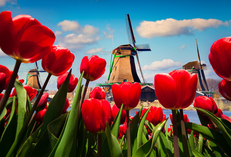 The famous Dutch windmills. Wiev through red tulips on the Netherlands canals. Creative collage.
