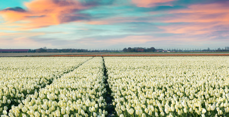 outdoor scenery: Colorful spring morning on the tulip farm near Espel village. Beautiful outdoor scenery in Netherlands, Europe. Instagram toning. Stock Photo