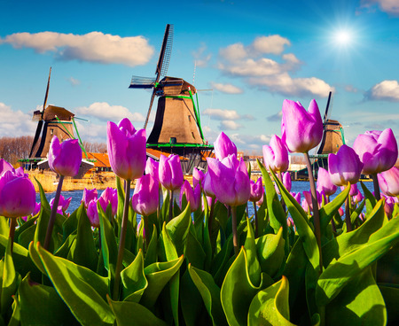 amsterdam: The famous Dutch windmills. View through red tulips on the Netherlands canals. Creative collage.