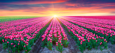 Fields of blooming white tulips at sunrise. Beautiful outdoor scenery in Netherlands, Europe.