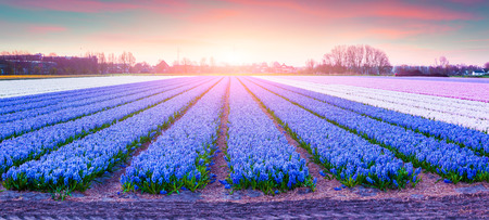 beautiful scenery: Fields of blooming hyacinth flowers at sunrise. Beautiful outdoor scenery in Netherlands, Europe.