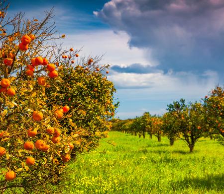naranja arbol: Soleado por la mañana en el jardín anaranjado en Sicilia, Italia, Europa. Foto de archivo