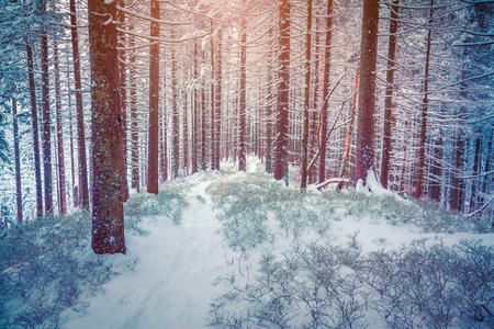 treck: Colorful winter sunrise in the mountain forest.