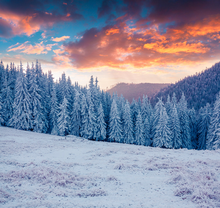 forest wood: Colorful landscape at the winter sunrise in the mountain forest