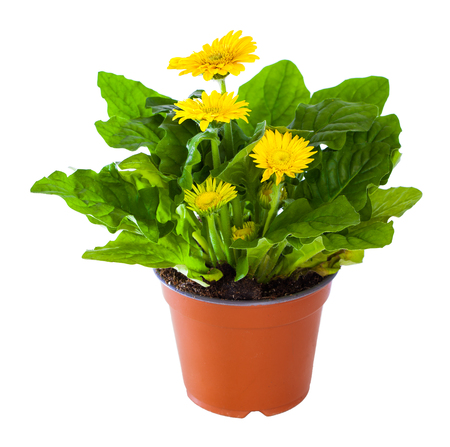 yellow gerbera isolated on: Blossoming plant of yellow gerbera in flowerpot isolated on white. Stock Photo