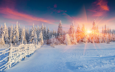 Colorful winter panorama in the Carpathian mountains. Fir trees covered fresh snow at frosty morning glowing first sunlight.