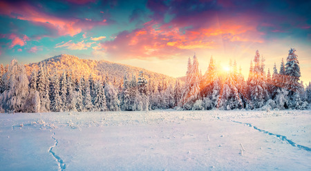Colorful winter panorama in the Carpathian mountains. Fir trees covered fresh snow at frosty morning glowing first sunlight. Instagram toning.