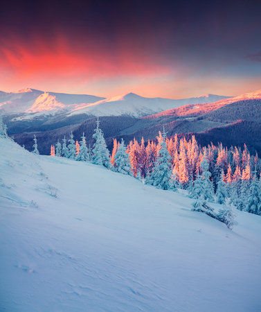 Colorful winter scene in the Carpathian mountains. Fir trees covered fresh snow at frosty morning glowing first sunlight. Stockfoto
