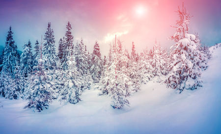 majestic: Misty winter scene in the snowy mountain forest.  Stock Photo