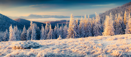 amazing stunning: Sunny winter panorama in the mountain valley with first sunlight glowing fir trees and grass covered fresh snow.