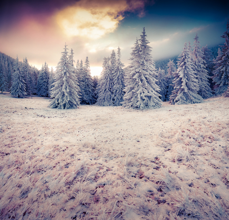 frost winter: Dramatic winter scene in the mountain forest. First frost covered grass and fir trees. Instagram toning.