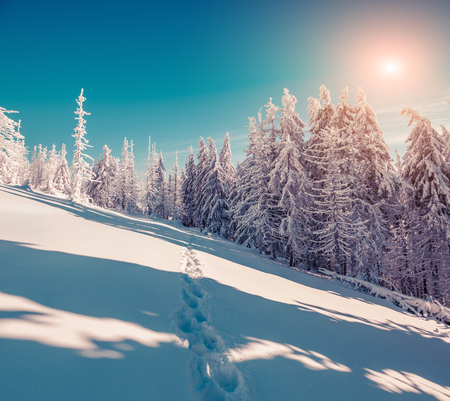 treck: Sunny winter scene in the mountain forest with fir trees covered fresh snow. Instagram toning.