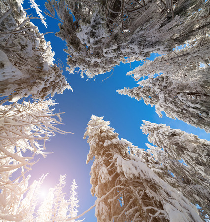 tress: Upward view of the sky in a snowy forest. Tress covered frost and fresh snow at sunny morning.