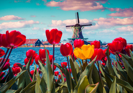 Blossom tulips in the Dutch village with famous windmills. Spring sunny morning on the Netherlands canals. Instagram toning. Foto de archivo