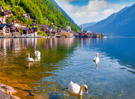 austrian village: White swans on the lake Hallstatter See. Sunny morning on the pier of Hallstatt village in the Austrian Alps.