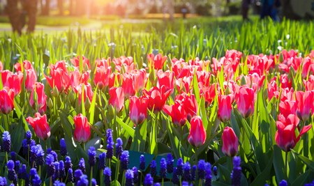 tulip: Fresh pink tulips in the Keukenhof Gardens glowing by morning sunlight. Beautiful outdoor scene in Netherlands, Europe. Stock Photo