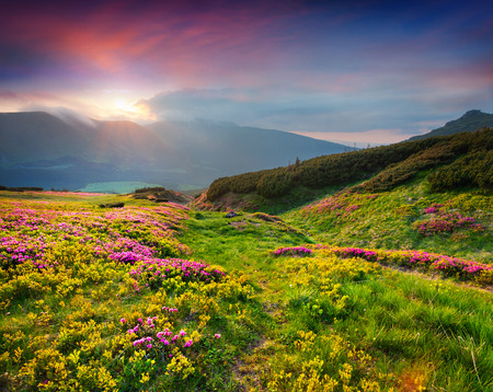 meadows: Natural summer scene in Carpathian mountains. Fresh grass and rhododendron flowers glowing last sunlight in evening. Ukraine, Europe.