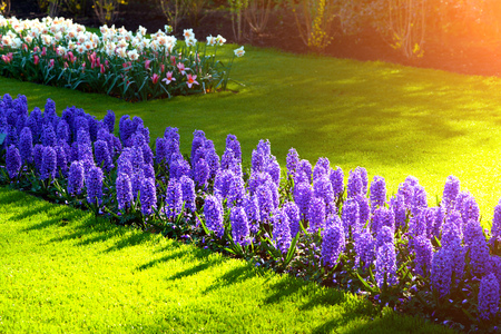 First sunlight glowing marveleus hyacinth flowers in the Keukenhof Gardens. Beautiful spring scene in Netherlands, Europe.
