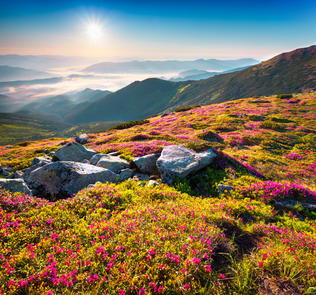 Summer morning view of Carpathian mountains. Fresh grass and rhododendron flowers glowing first sunlight in the foggy morning. Chornogora ridge, Ukraine, Europe. Stock Photo - 62216583