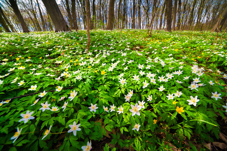 Blooming anemone flowers in the forest. Sunny spring scene in the woodland. Wide angle view.