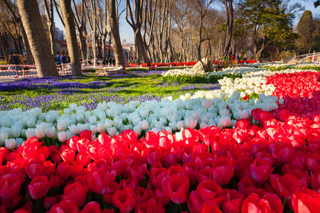 Marvellous pink tulips in the Gulhane (Rosehouse) park, Istanbul. Beautiful outdoor scenery in Turkey, Europe. Sunny morning in the city park.