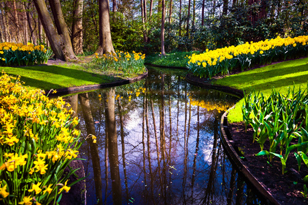 Marvellous yellow narcissus in the Keukenhof gardens. Beautiful outdoor scenery in Netherlands, Europe. Stock Photo