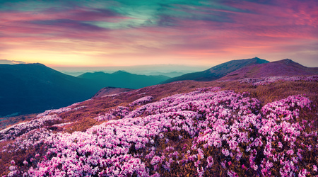 Summer evening scene in the Carpathians. Carpet of bloomig rhododendron flowers covered mountain hills under a deep red sly. Pink filter tonned.