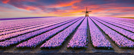 Dramatic spring scene on the flowers farm. Colorful sunset in Netherlands, Europe. Fields of blooming hyacinth flowers in Holland.