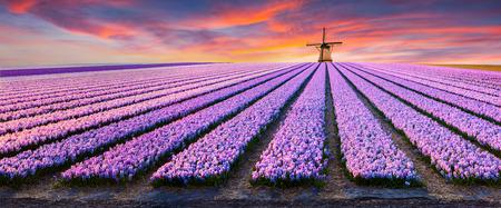 Dramatische lentescène op de bloemenboerderij. Kleurrijke zonsondergang in Nederland, Europa. Gebieden van bloeiende hyacintbloemen in Holland. Stockfoto